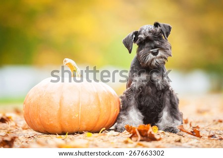 Miniature schnauzer puppy with a pumpkin in autumn - stock photo