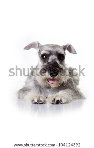 Miniature schnauzer sits on white background - stock photo