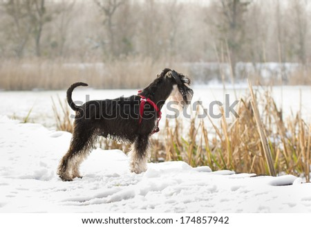 Miniature schnauzer standing on snow and looking ahead - stock photo