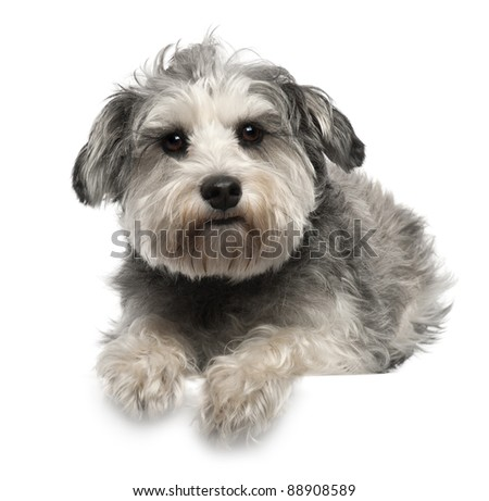 Miniature Schnauzer, 3 years old, lying in front of white background - stock photo