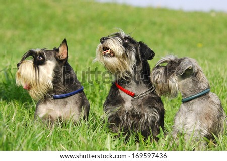 Miniature schnauzers - stock photo