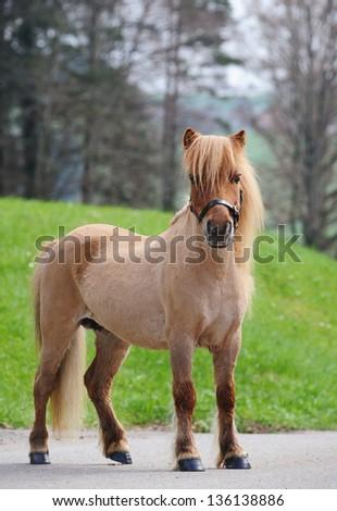 Miniature shetland pony, adult mare, having rare dark cream color - stock photo