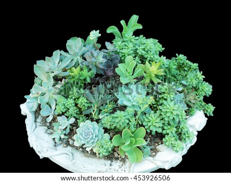 Miniature succulent plants isolated on black background.Clipping path. - stock photo