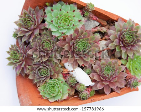Miniature succulent plants (Jovibarba Hirta) displayed in a broken pot isolated on a white background - stock photo