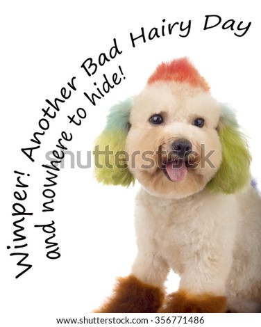 Miniature Toy Poodle Having a Real Bad Hair Day and nowhere to hide - stock photo