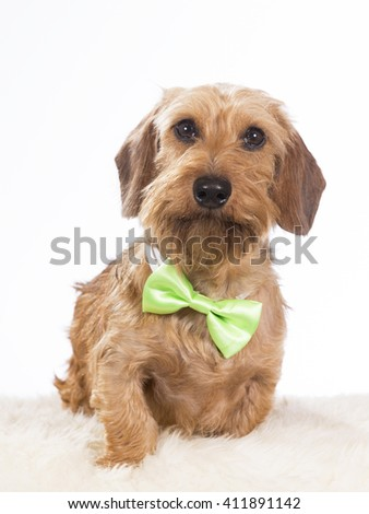 Miniature Wire-Haired Dachshund or weenie dog. The dog is wearing a green bow. The puppy is photographed in the studio.