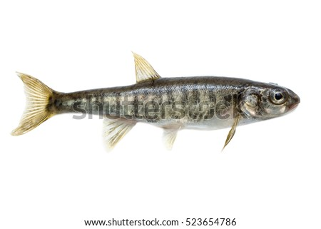 Minnow (Phoxinus) it is isolated on a white background