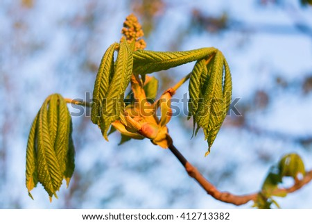 Minsk, Belarus - April : spring young leaves of chestnut in the sunset - stock photo