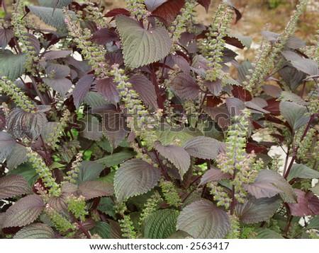 mint flavour - stock photo