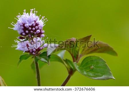 Mint flower - stock photo