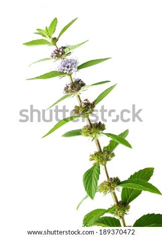 mint flower isolated on white background  - stock photo