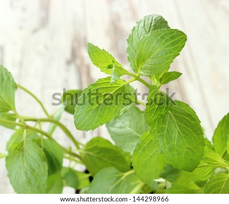 Mint herb growing - stock photo