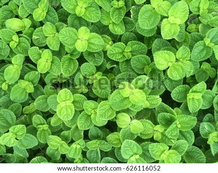 Mint Leaf Wallpaper Stock Photo Download Now 626116052