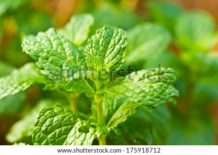 Mint leaves. - stock photo