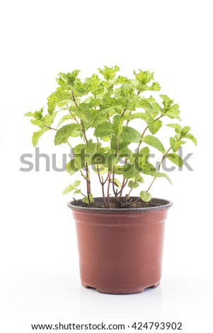 Mint Mojito Potted on a White Background.