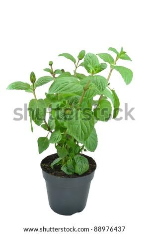 Mint plant in a plant pot on white background - stock photo
