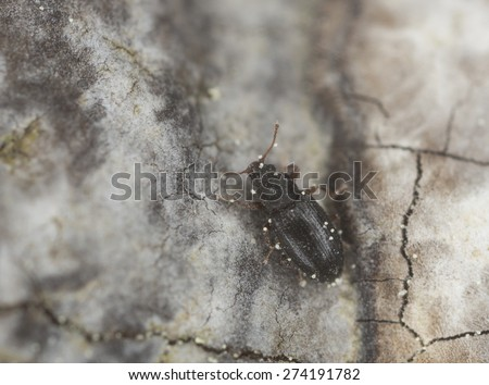 Minute brown scavenger beetle, Latridiidae on wood, extreme close up with high magnification, focus on eyes - stock photo