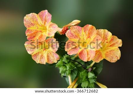 Mirabilis jalapa four o'clock flower on dark background. - stock photo
