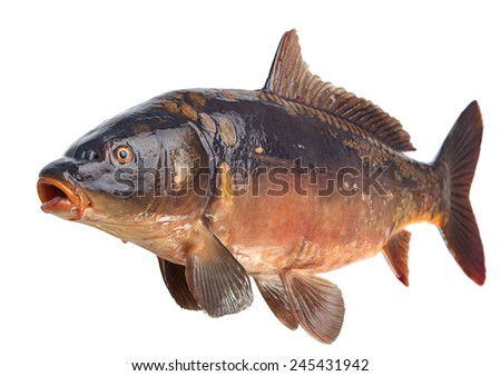 Mirror carp river fish isolated on white - stock photo