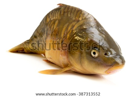 mirror carp - weighing 3 pounds of fish isolated on white background - stock photo