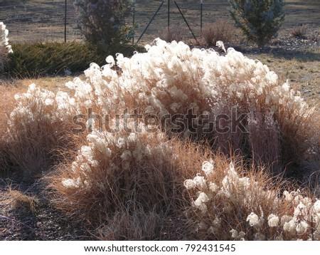Miscanthus ornamental grasses winter stock photo royalty free miscanthus ornamental grasses winter stock photo royalty free royalty free 792431545 shutterstock workwithnaturefo