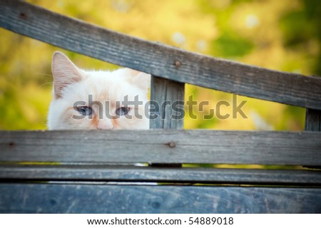 mischievous birman cat with mysterious blue eyes looking through a gap a fence - stock photo