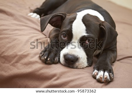 Mischievous Pit Bull puppy on soft bed - stock photo