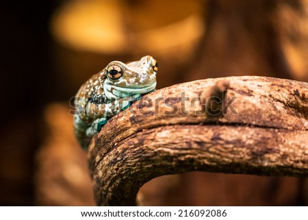 Mission golden-eyed tree frog - stock photo