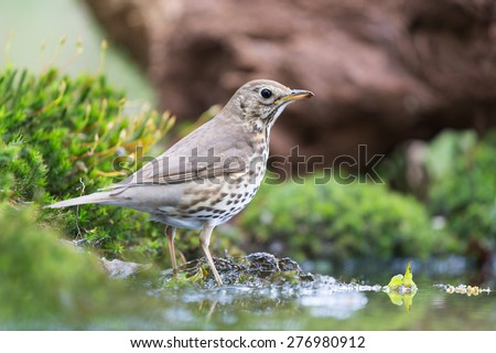 Mistle Thrush at the ground in nature - stock photo
