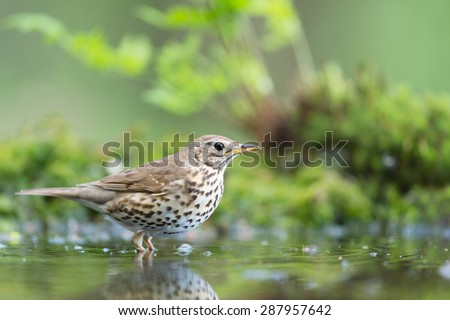 Mistle Thrush in nature water - stock photo