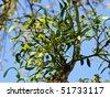 Mistletoe (Viscum album) on a poplar branch in spring - stock photo