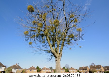 Mistletoes growing on a tree in winter - stock photo