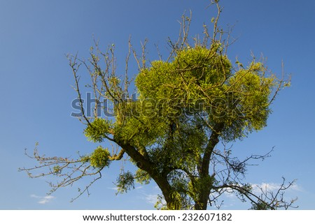 Mistletoes on tree in front of blue sky  - stock photo