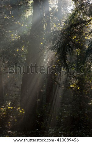Misty autumnal coniferous stand in morning with sunbeams entering,Bialowieza Forest,Poland,Europe - stock photo