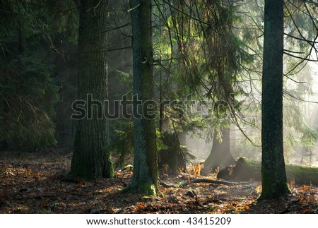Misty autumnal coniferous stand of Bialowieza Forest at sunrise with old spruces and pines - stock photo