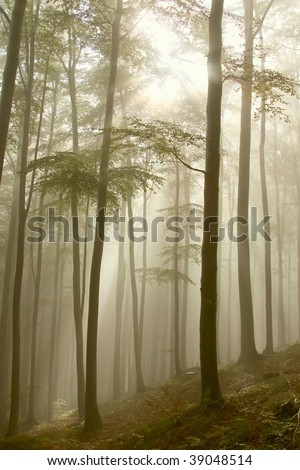 Misty beech forest in a nature reserve with the sun shining between the trees.