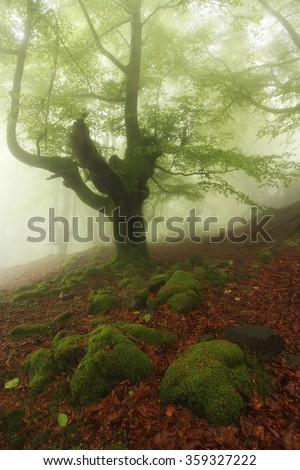 Misty beech wood in Orozko (Biscay, Basque Country)
