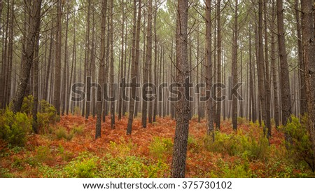Misty conifer forest with red fern