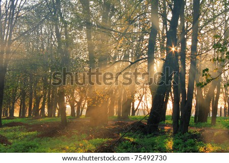 Misty dawn in the forest with sun rays - stock photo