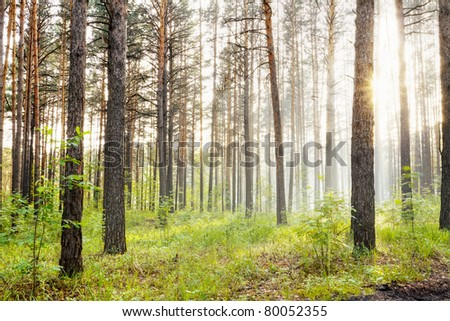 misty forest at sunset - stock photo