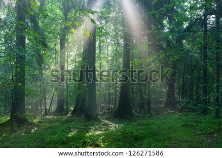Misty mixed stand in morning rain after with old trees in foreground - stock photo