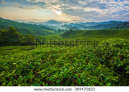 Misty morning in Cameron Highlands tea plantation. 2 - stock photo