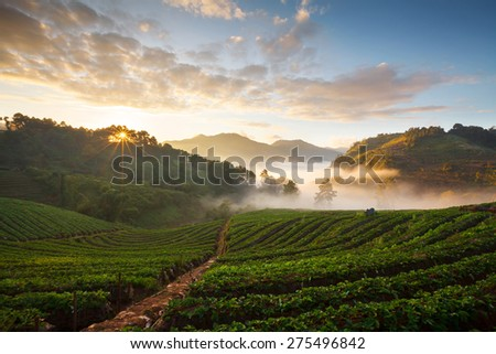 Misty morning sunrise in strawberry garden at Doi Ang-khang mountain, chiangmai thailand