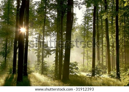 Misty spring forest in the early morning with sunbeams through the oak trees. - stock photo