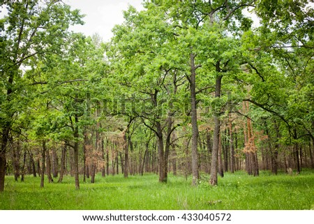 Misty spring forest in the early morning with sunbeams through the oak trees - stock photo