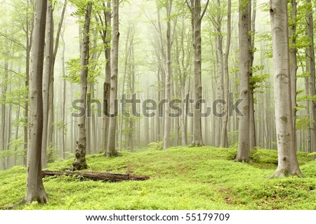 Misty spring forest with majestic beech trees growing on the mountain slope. - stock photo
