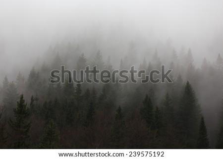 Misty spruce forest. - stock photo