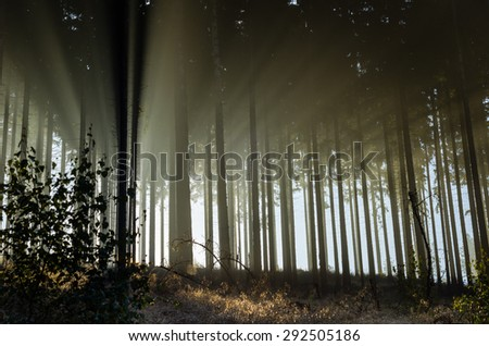 Misty spruce forest in the morning, Germany. Misty morning with strong sun beams in a spruce forest in Germany near Bad Berleburg. High contrast and backlit scene. - stock photo