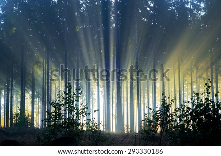 Misty spruce forest in the morning Misty morning with strong colorful sun beams in a spruce forest in Germany near Bad Berleburg.  High contrast and backlit scene.  - stock photo