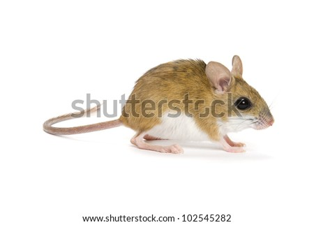 Mitchell's Hopping Mouse, Notomys Mitchellii, on a white background.